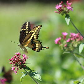 Landing Butterfly by Gayle Miller