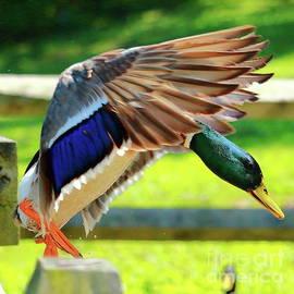 Landing Mallard by Atiqur Rahman