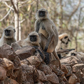 Langur Troop by Pravine Chester