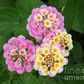 Lantanas in pink and yellow by Nathen Knowles