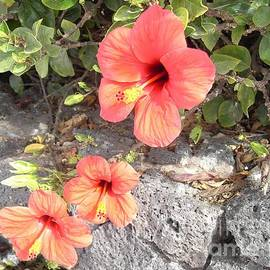 Lanzarote Hibiscus by Lesley Evered