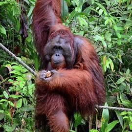 Large orangutan hangs on rope and tree eating bananas Semenggoh Nature Reserve Kuching Malaysia by Imran Ahmed
