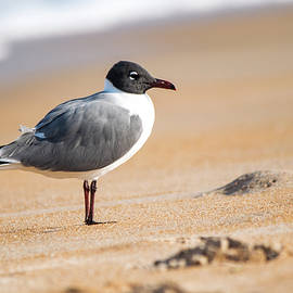 Laughing Gull by Mary Ann Artz