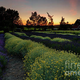 Lavender and Gold by Mike Dawson