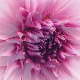 Lavender and Pink Dahlia  by Jerry Abbott