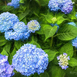 Lavender Blue Hydrangea by George Moore