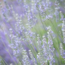 Lavender Dream   Summer Herb Garden by Nancy Jacobson