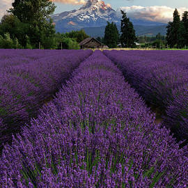 Lavender Field in Bloom Overlooking Oregon's Mount Hood by Tom Schwabel
