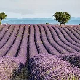 Lavender Field by Rob Hemphill