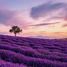 Lavender field with a Lonely Tree and a Mountain in the Background at Sunset by Alexios Ntounas