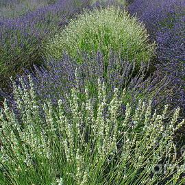 Lavender Fields of White and Indigo Blue by Dora Sofia Caputo