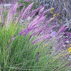 Lavender Fountain Grasses by Susan Buscho