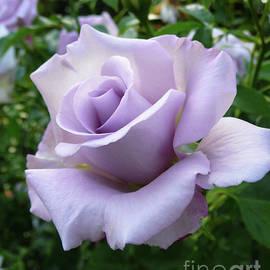 Lavender Lagerfeld Rose by Jackie Follett