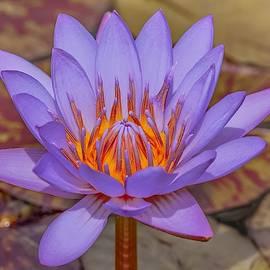 Lavender Lotus by Susan Rydberg