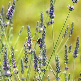 Lavender Pollination by Kevin Anderson