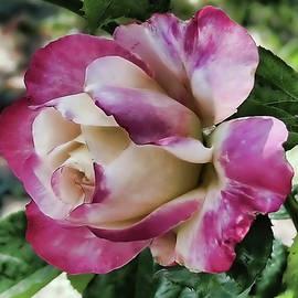 Lavender Rose by Aurelia Schanzenbacher