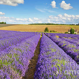 Lavender rows at Snowshill Farm, The Cotswolds, England by Neale And Judith Clark