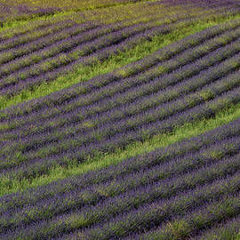 Lavender Rows by Rob Hemphill