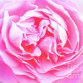 Layers of A Pretty Pink Rose by Janice Noto