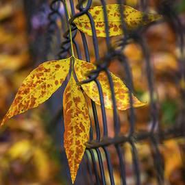 Leaf in Fence by Bill Tincher