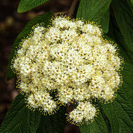 Leatherleaf Blossoms by Denise Harty