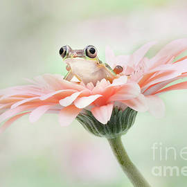 Lemur Frog On A Pink Geber Flower by Linda D Lester