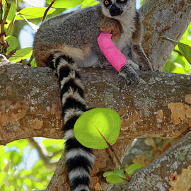 Lemur in Tree by Sally Weigand