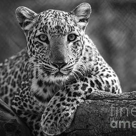 Leopard lokking down by Pravine Chester