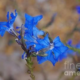 Leschenaulta biloba - Blue Leschenaulta by Lesley Evered