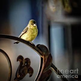 Lesser Goldfinch Enjoying Sunshine by Robert Bales