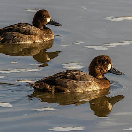 Lesser Scaup 11/27 by Bruce Frye