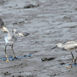 Lesser Yellowlegs Mating Ritual #5 by Jerry Griffin