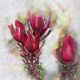 Leucadendron 2 by Elaine Teague