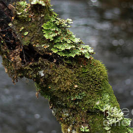 Lichen by Elaine Teague