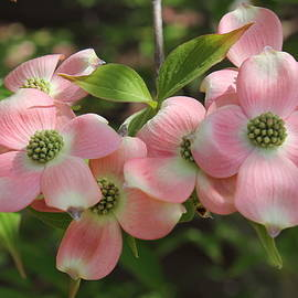 Light Pink Dogwood by Nieves Egelkraut