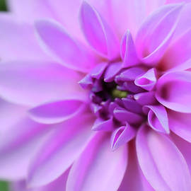 Light Purple Dahlia by Johanna Hurmerinta