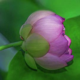 Lighting Lotus by Kevin Lane