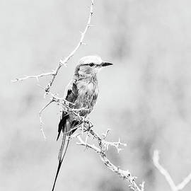 Lilac Breasted Roller - BW by Scott Pellegrin
