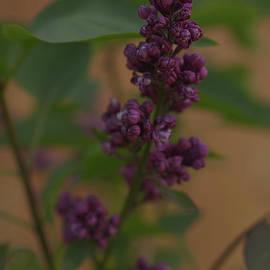 Lilac Flower by PROMedias Obray
