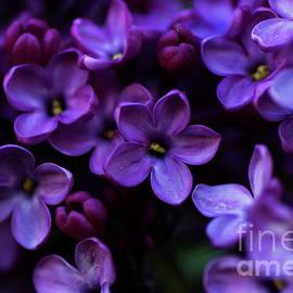 Lilac flowers by Amalia Suruceanu