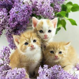 Lilac Kitten  by Nicole Markmann Nelson