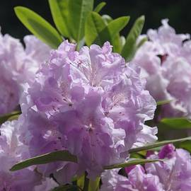 Lilac Rhododendron by Lesley Evered