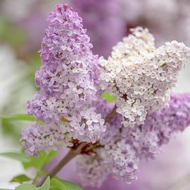 Lilacs-DSC_2921 by Johanna Froese