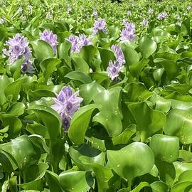 Purple Water Hyacinths on the Combahee River by Amy Scheer