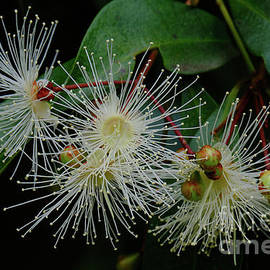 Lilly Pilly Flowers by Neil Maclachlan