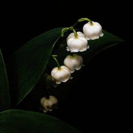 Lily Of The Valley by Denise Harty