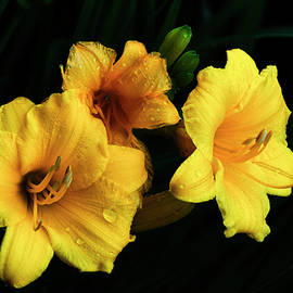 Lily Trio by Denise Harty