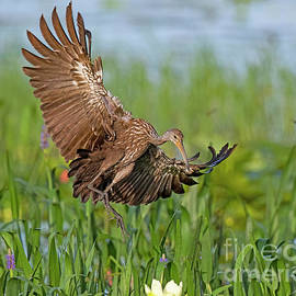 Limpkin Arrival by Dale Erickson