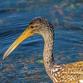Limpkin by the Water by Stephen Whalen