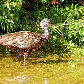 Limpkin With Apple Snail by Sally Weigand